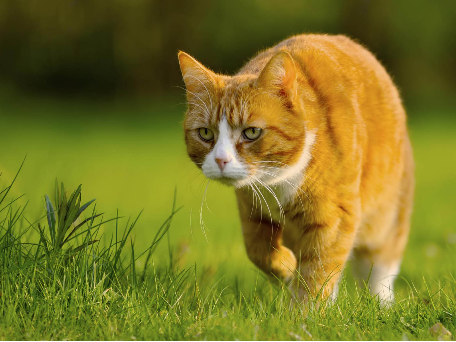 wallpapers Hunting Cat Wallpapers 1600x1200