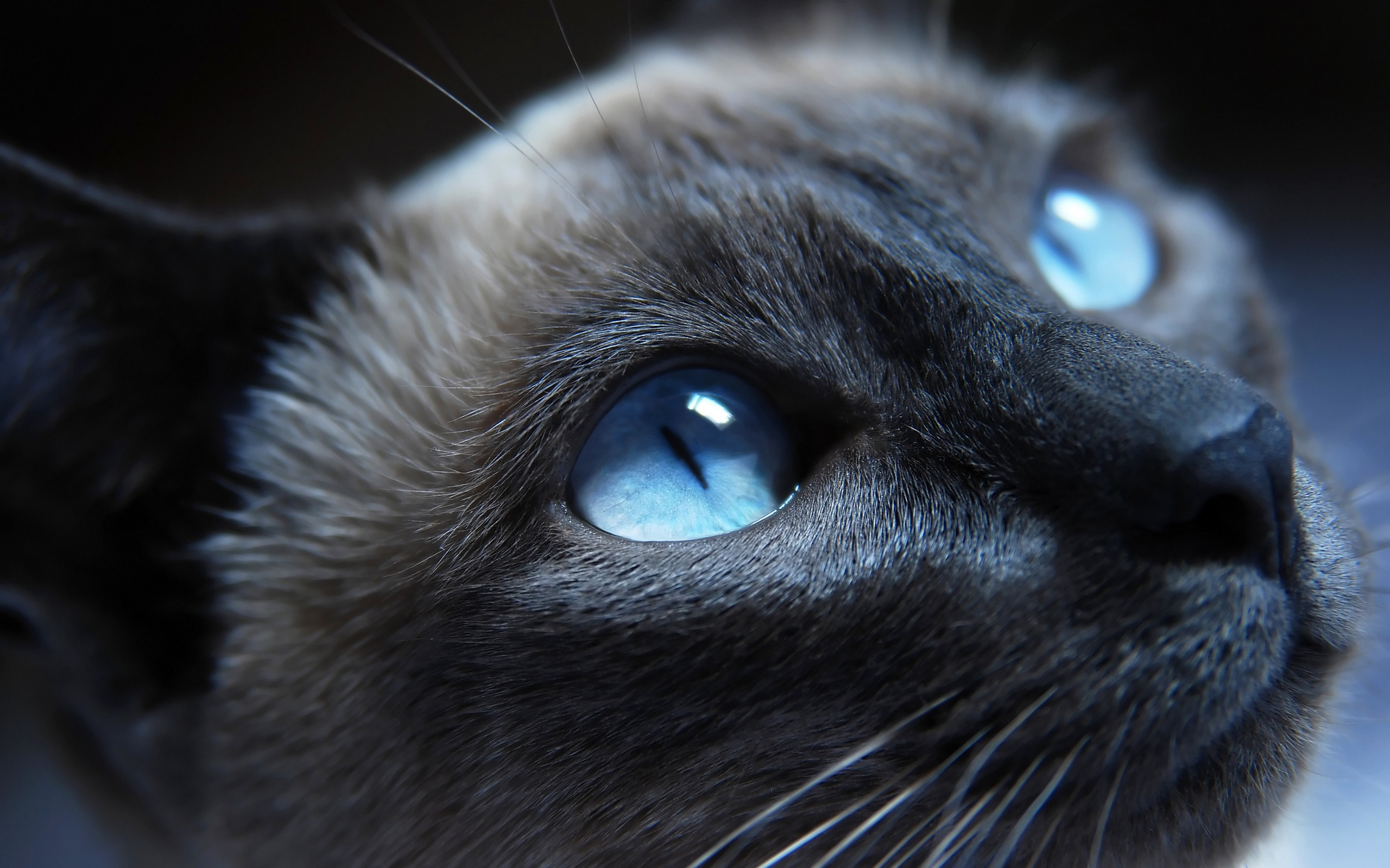 cat with blue eyes   Warrior Cats Forever Wallpaper 30386523 2560x1600