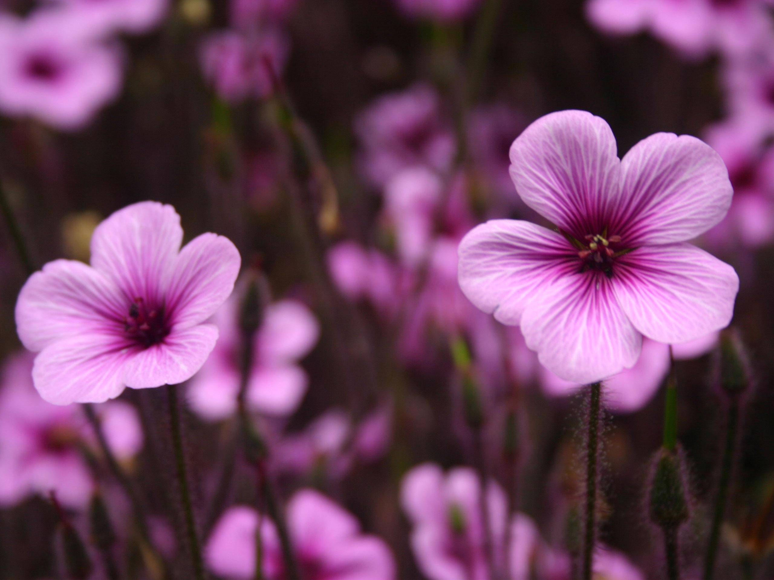 Purple Wallpaper Purple Flowers Wallpaper 2560x1920