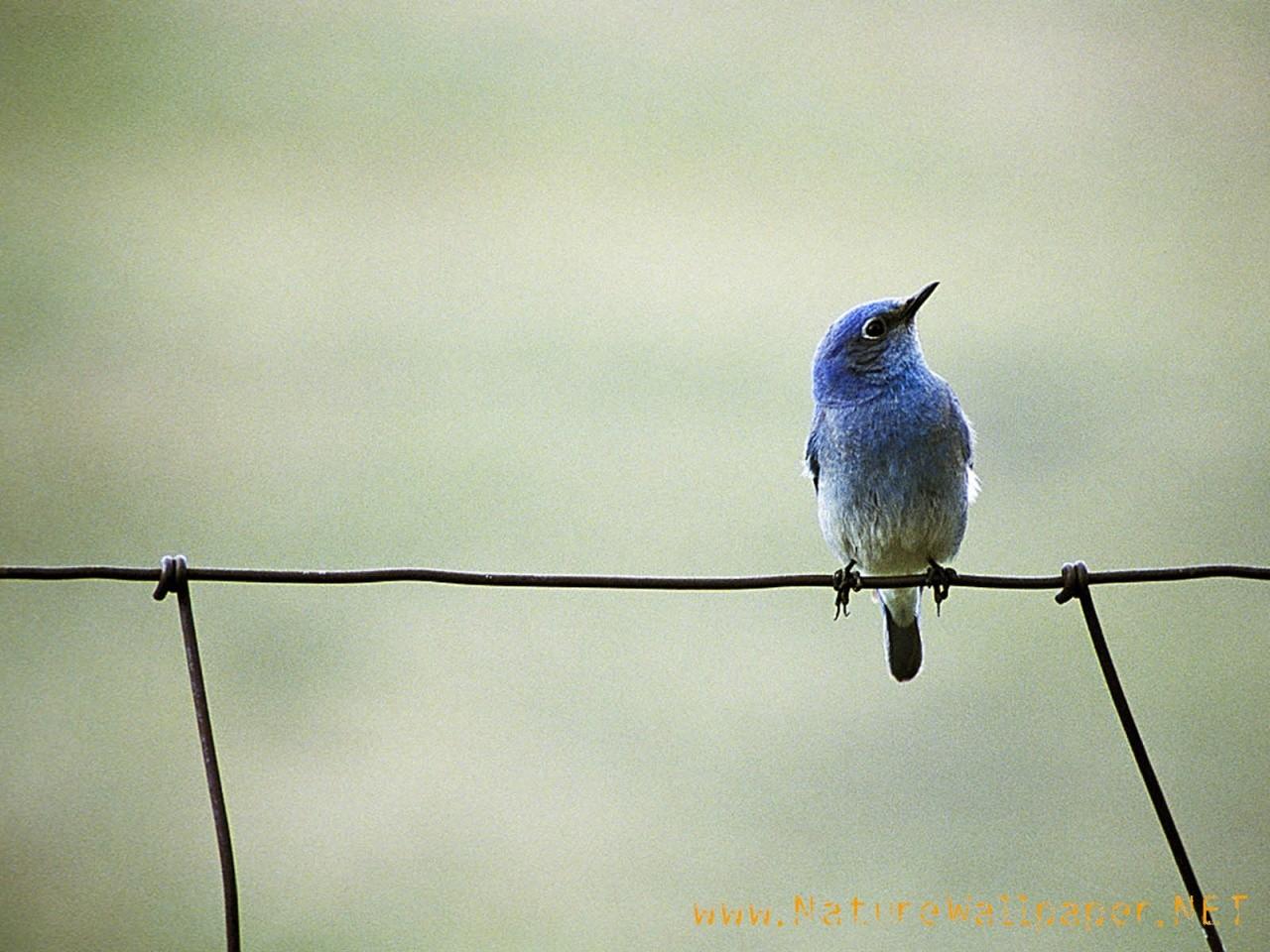 Blue bird animal wallpaper Urban Art Wallpaper 1280x960