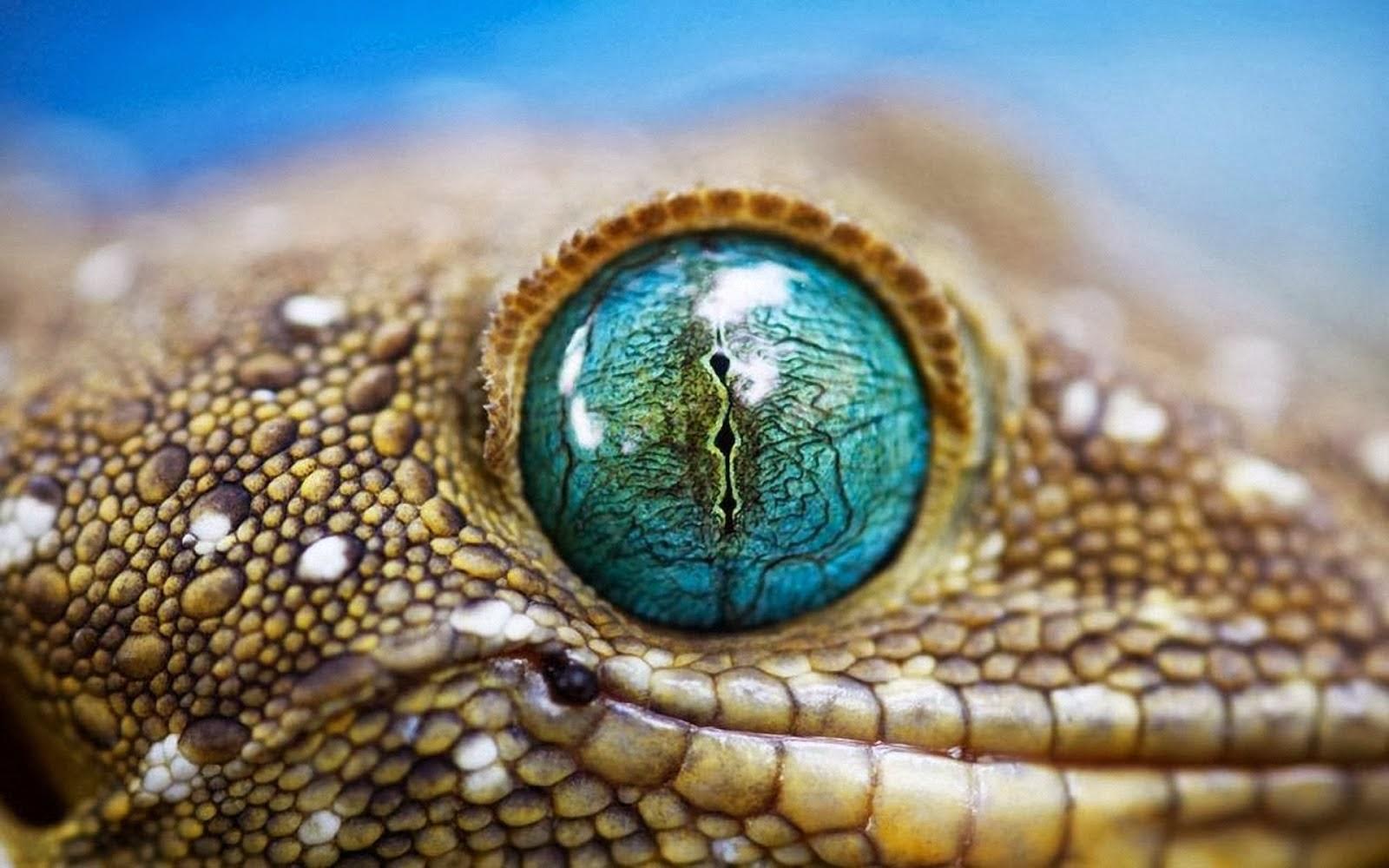 Gecko Wallpaper 16   1600 X 1000 stmednet 1600x1000