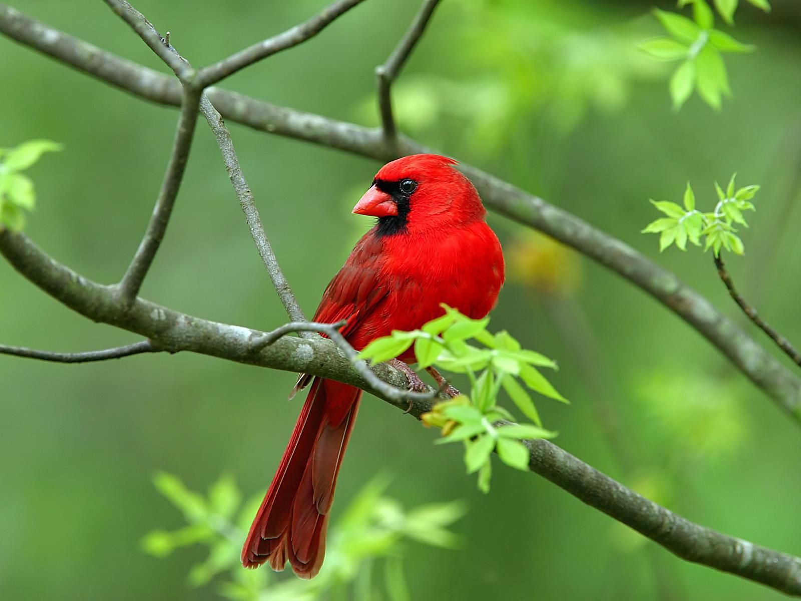 Cardinal Birds Wallpaper Download For Desktop Birds Cardinal Birds 1600x1200