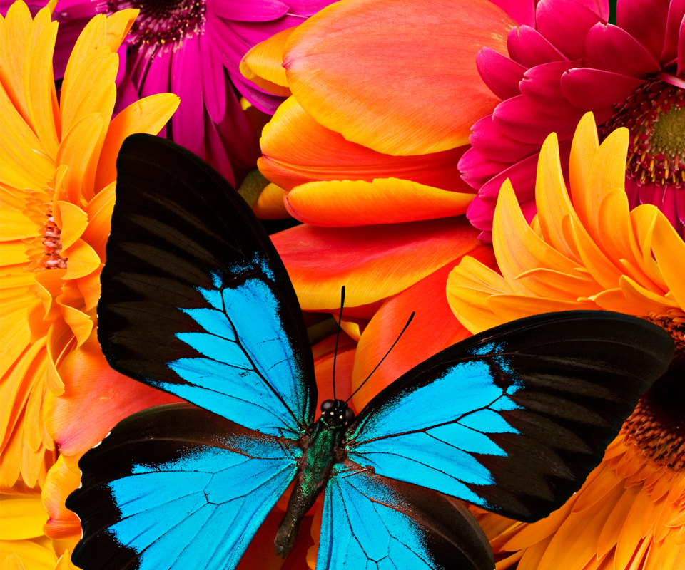 Download Animated Colorful Butterfly Wallpapers   Bitterroot 960x800