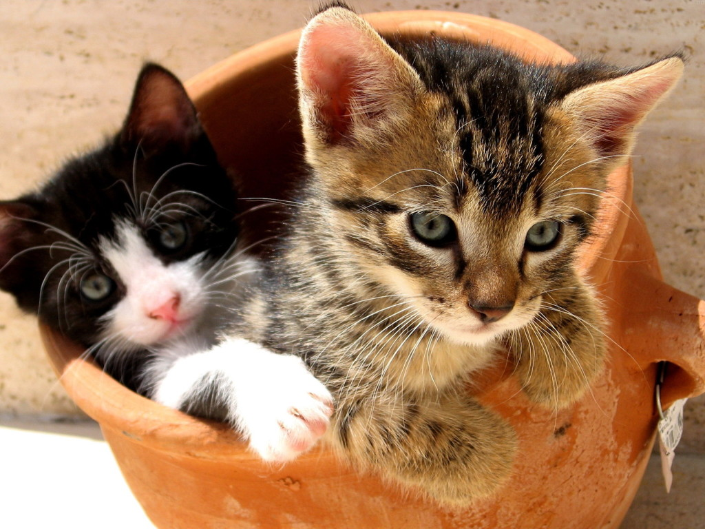 Cute cats and kittens wallpaper wallpapersafari wallpaper gallery cat kittens wallpaper 1 1024x768 altavistaventures Images