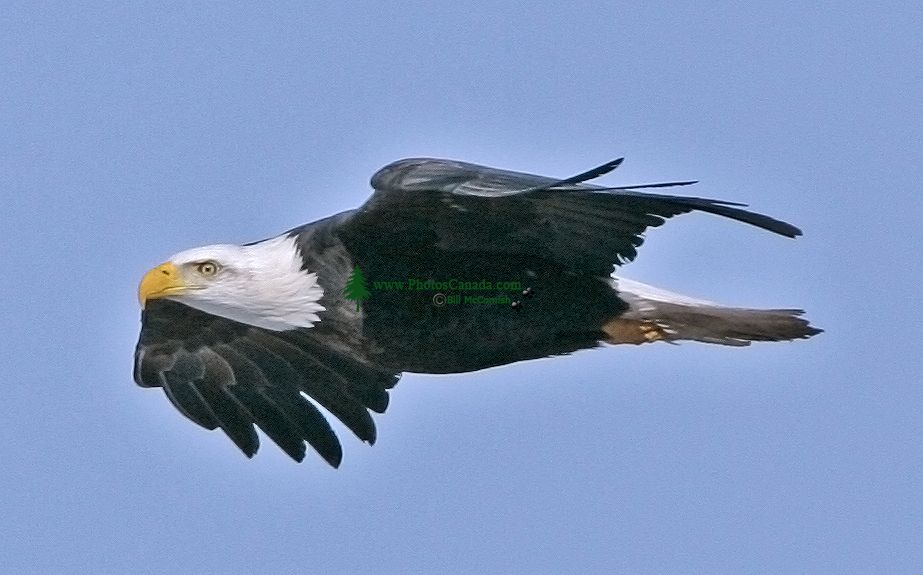 American Bald Eagle Search Pictures Photos 923x575