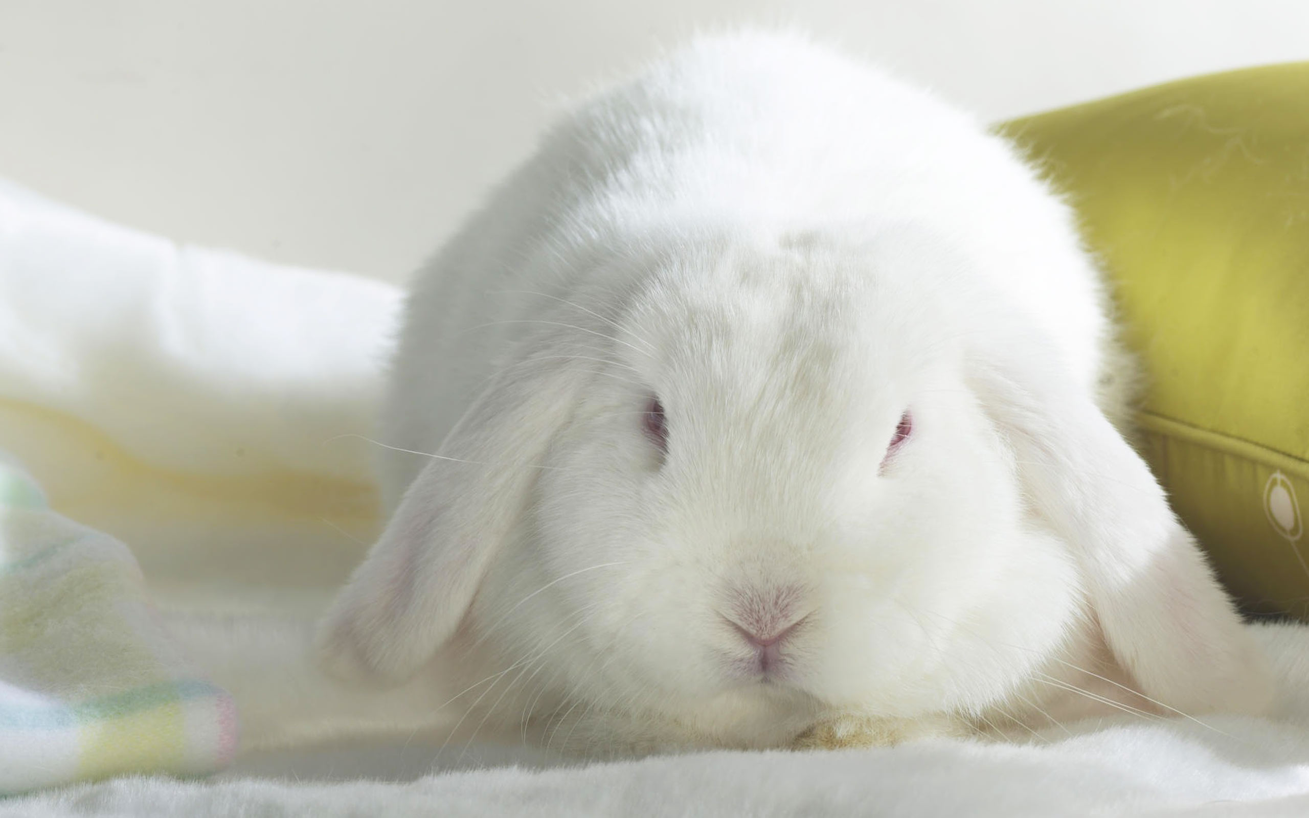 White Bunny Desktop hd Wallpaper High Quality WallpapersWallpaper 2560x1600