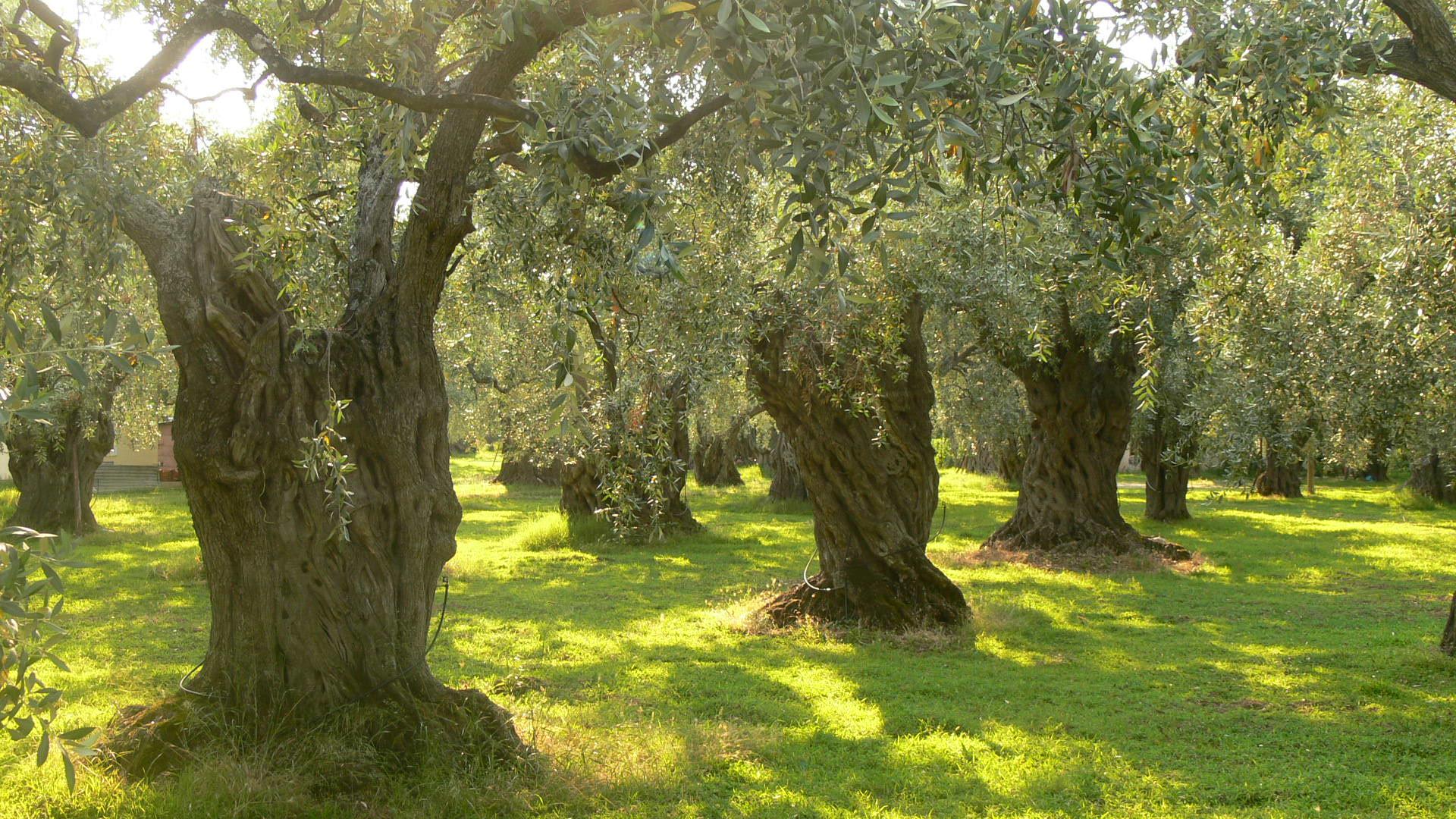 Olive Trees wallpaper   359864 1920x1080