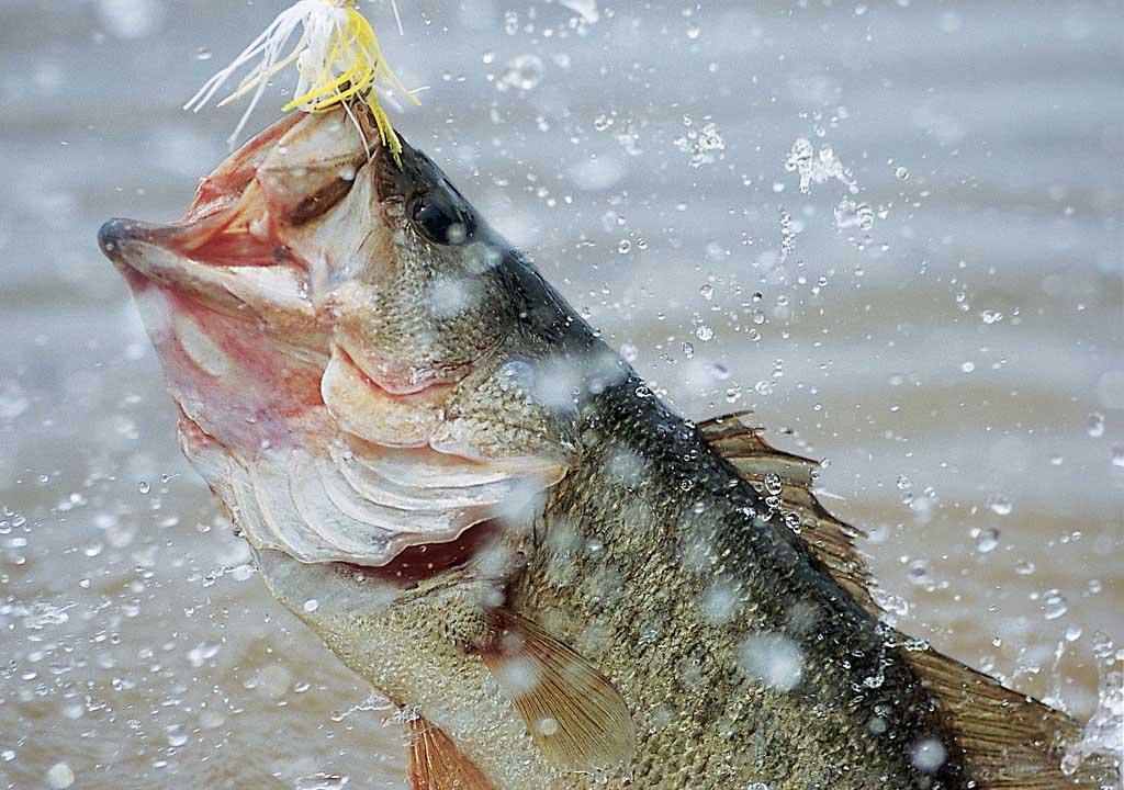 Hd Wallpaper Of Bass Fish GulabiNagar scraps GulabiNagar 1024x720