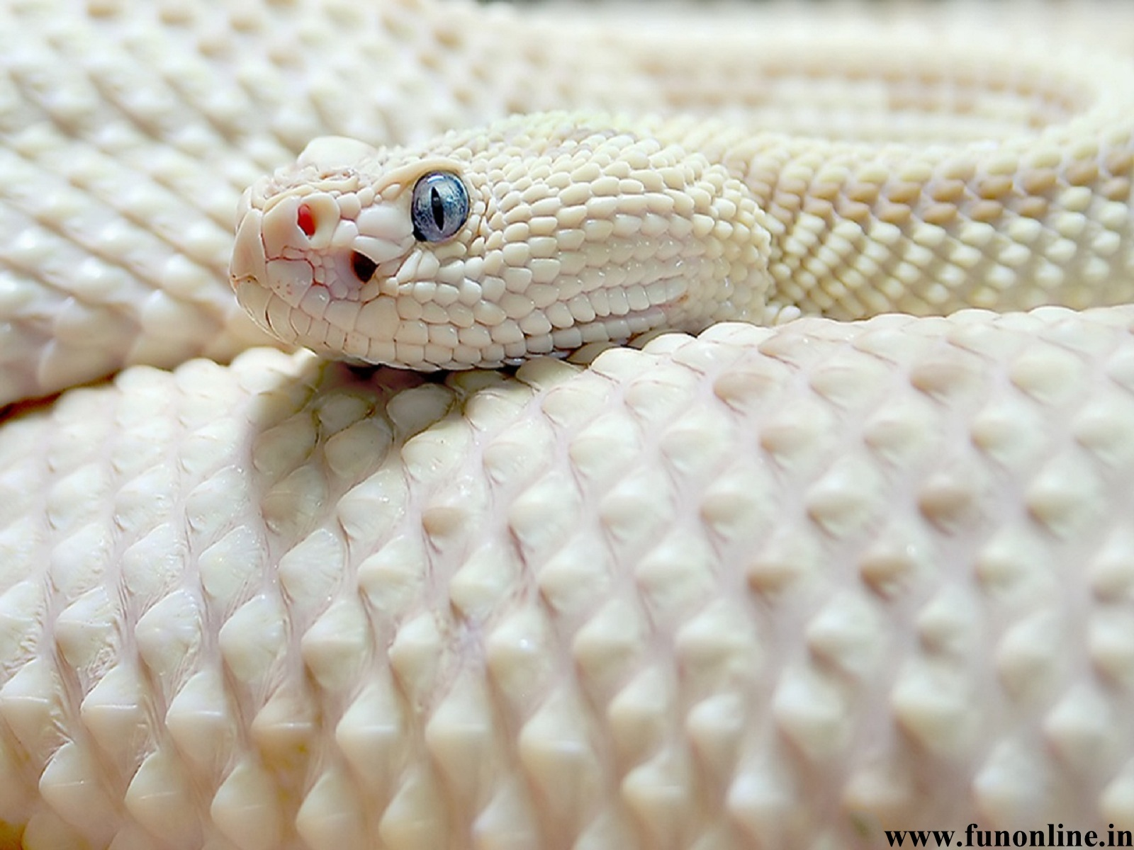 Snake Wallpapers Download Poisonous and Deadly Snakes HD Wallpapers 1600x1200