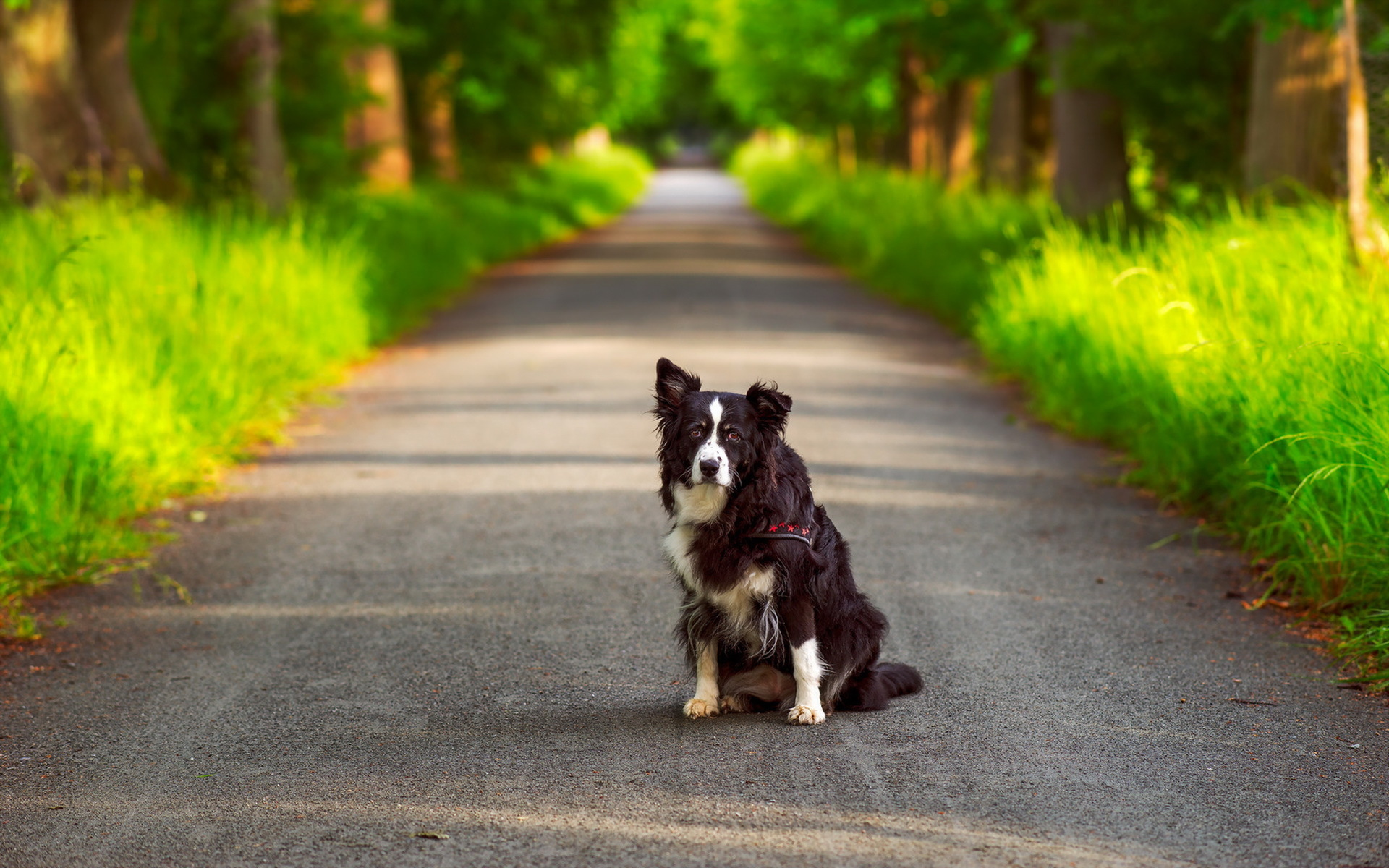 Australian Shepherd Dog HD Wallpapers Desktop Backgrounds 1920x1200