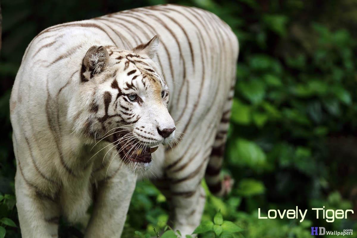 White Tigers Wallpaper Free