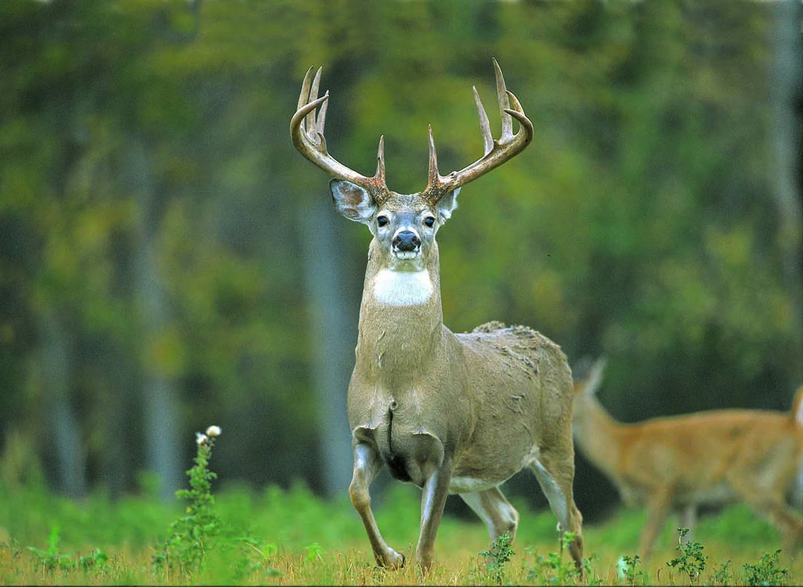 Deer Backgrounds For Iphone: Whitetail Deer HD Wallpaper