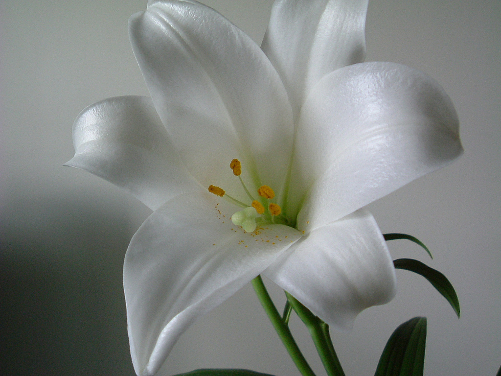 white lily flowers wallpapers white lily flowers wallpapers white lily 1024x768