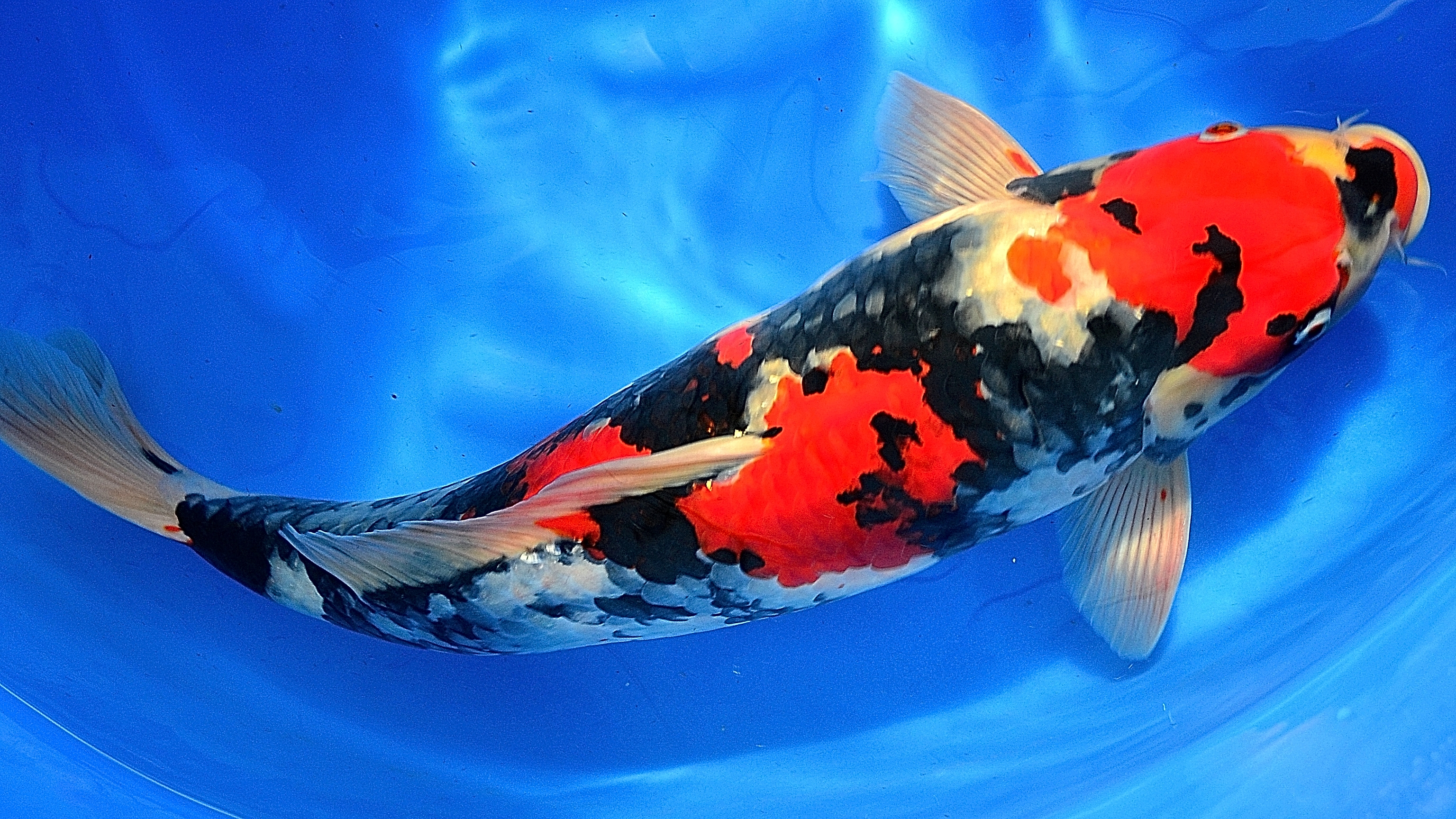 Mobile9 live wallpaper wallpapersafari for Koi fish images
