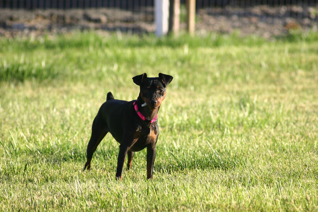 Miniature Pinscher Min Pin Wallpapers Pictures Breed Information 1024x683