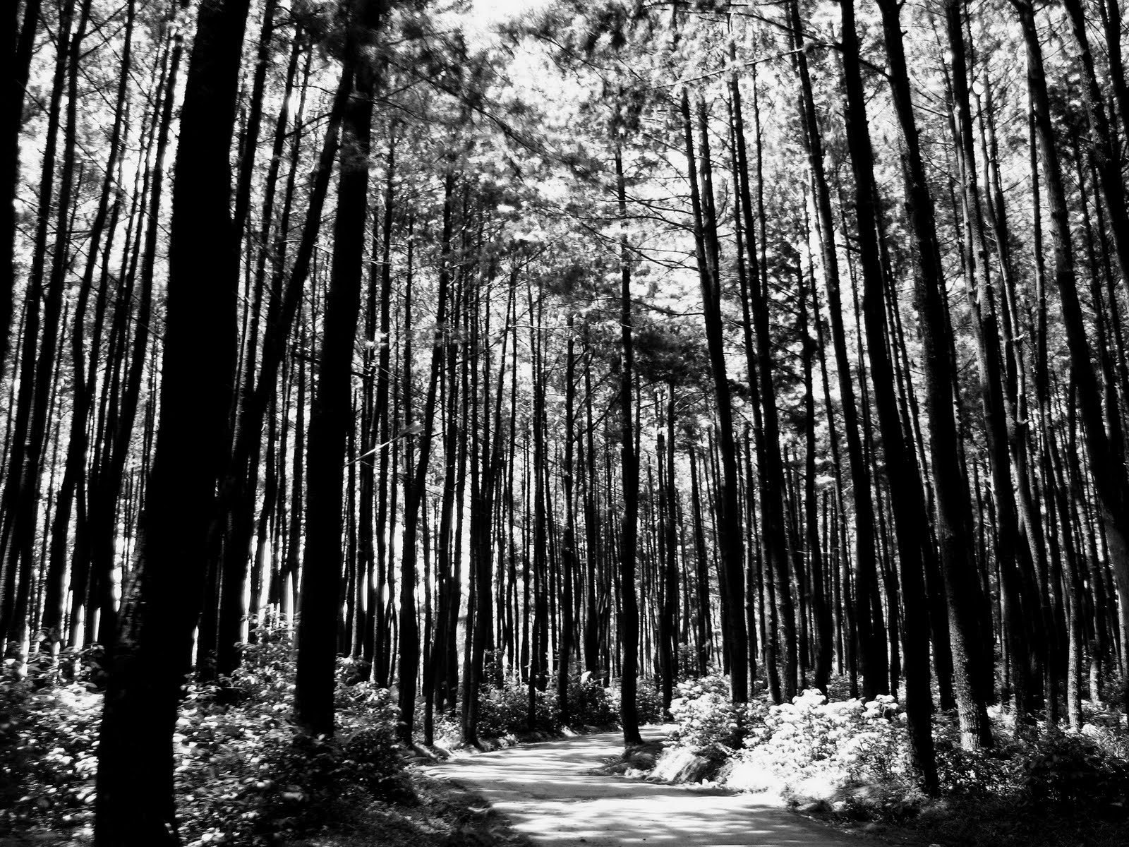 Black And White Forest Wallpaper   HD Wallpapers Pretty 1600x1200