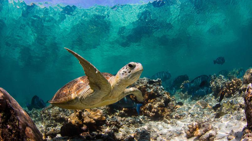 Sea Turtle Swimming HD Wallpaper   WallpaperFX 804x452