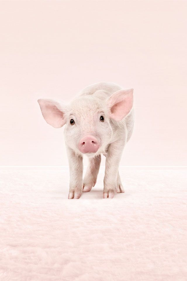 Cute Baby Pigs Wallpaper