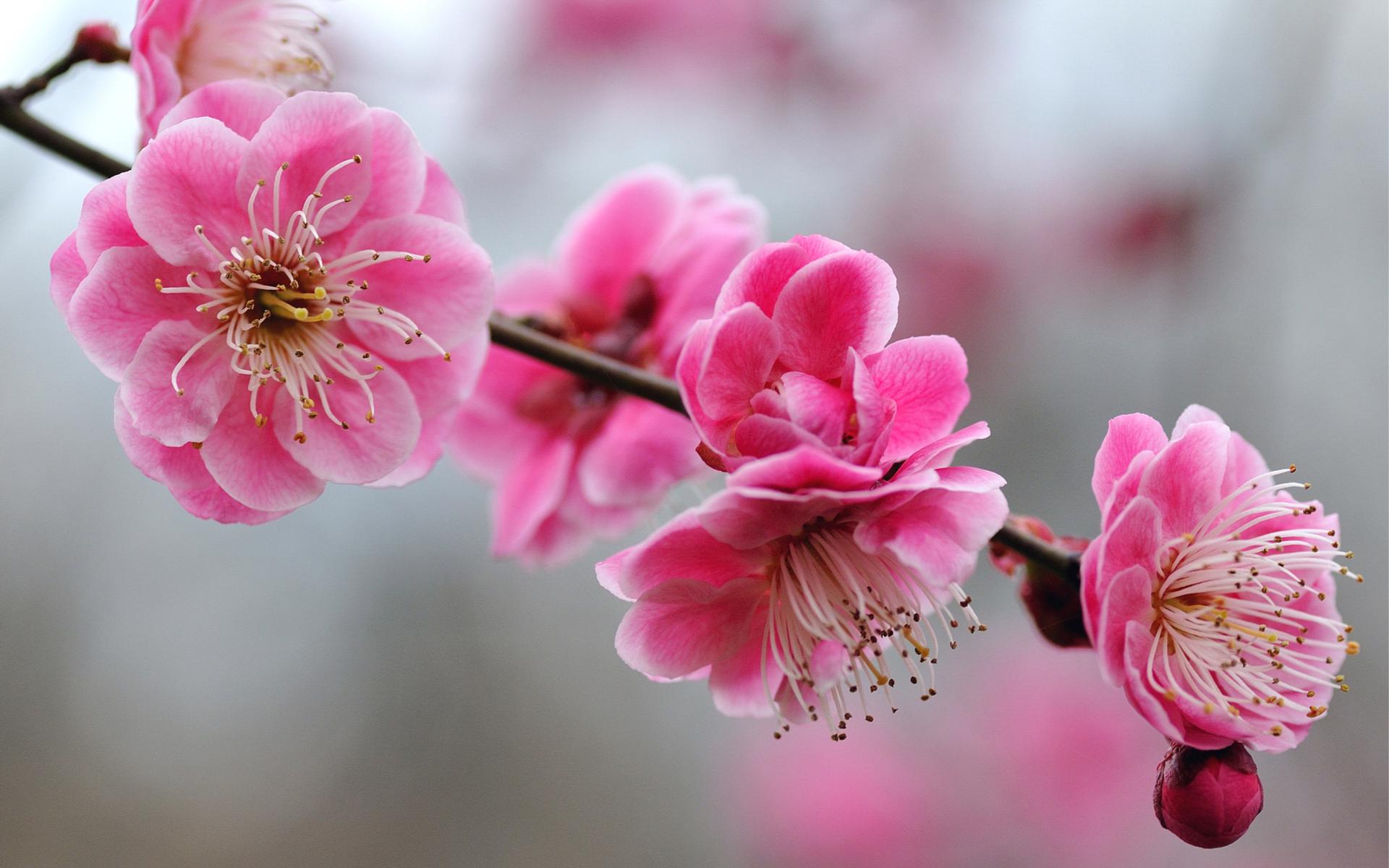 cherry blossoms wallpaper blossom wallpapers walls 1920x1200 1920x1200