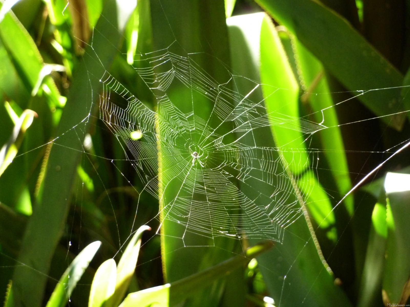 MLeWallpaperscom   Spiderweb in Tropical Leaves 1601x1200