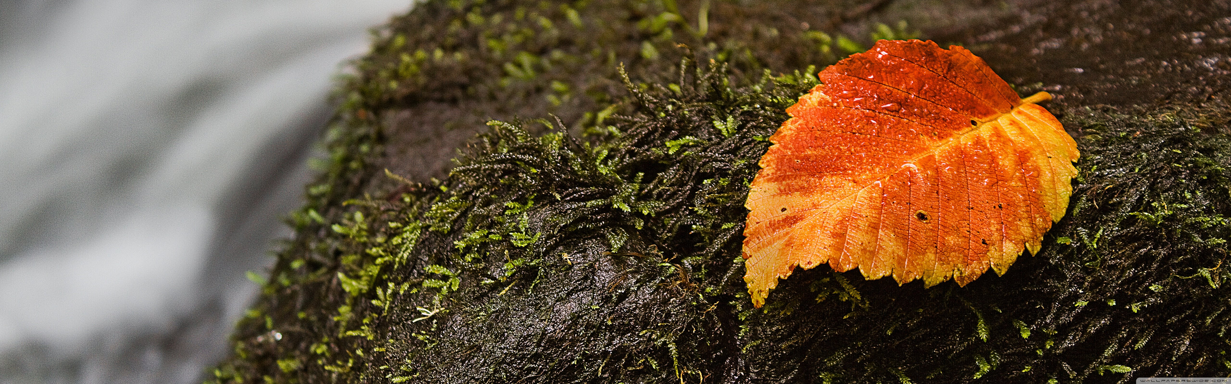 Wet Leaf And Moss 4K HD Desktop Wallpaper for 4K Ultra HD TV 5120x1600