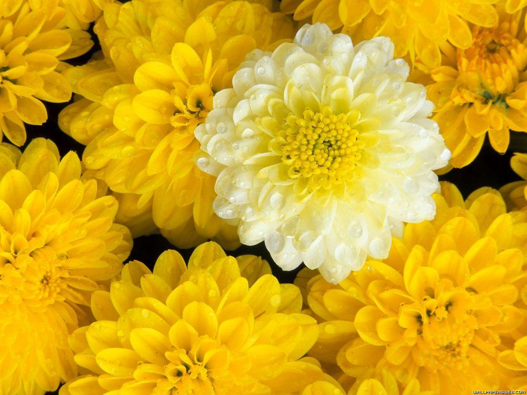 flowers for flower lovers Flowers desktop wallpapers 1024x768