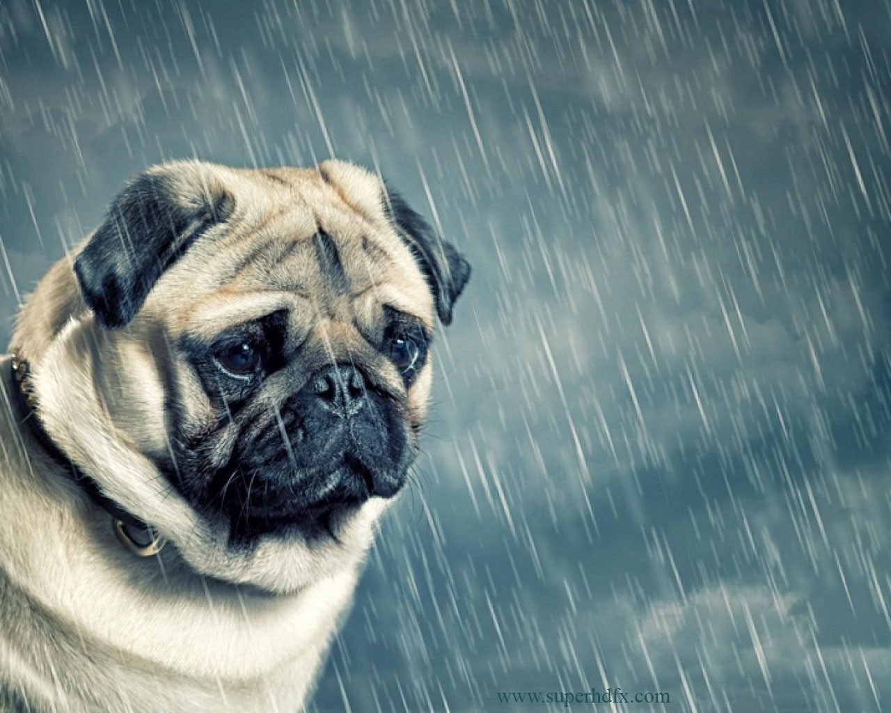 Pics Photos   Info Download Pug Dog Hd Wallpapers Latest 1280x1024