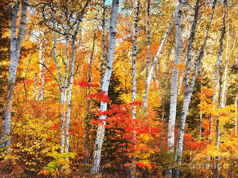 Birch Trees Fall Nature Scenery by Oleksiy Maksymenko 900x675