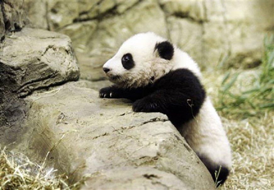 baby panda wallpaper   ForWallpapercom 872x606
