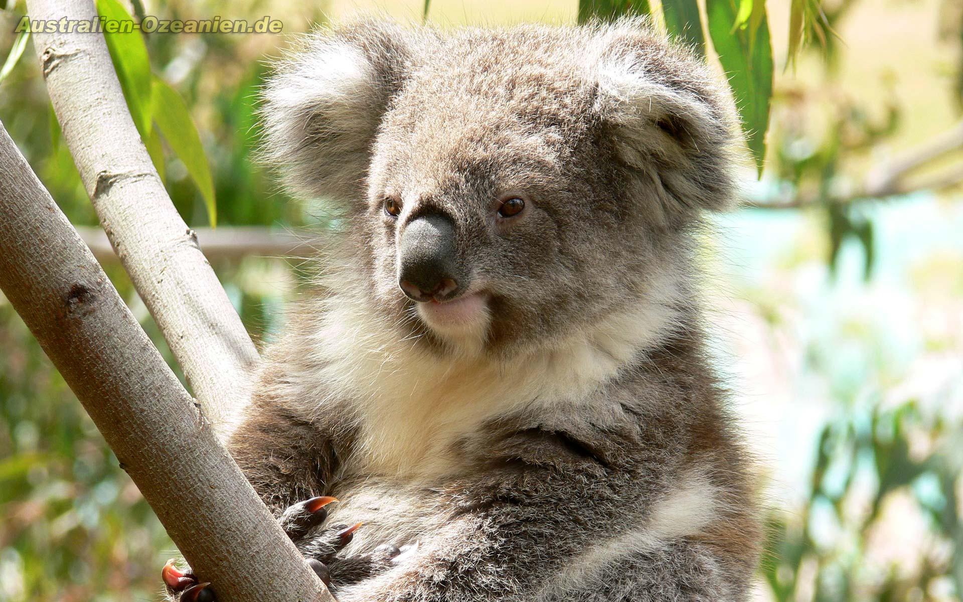Koala wallpaper - 131204