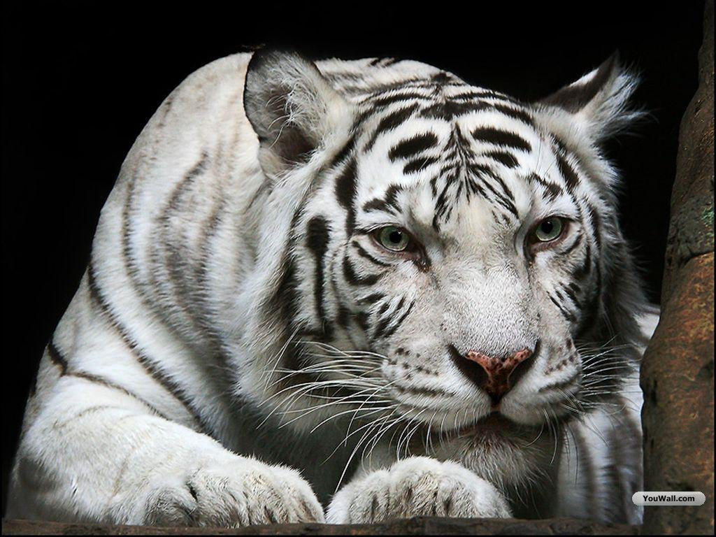White tiger wallpapers screensavers wallpapersafari - White tiger wallpaper free download ...