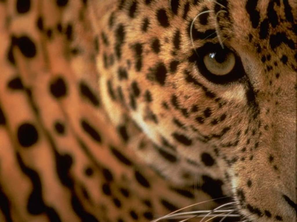 Leopard Wallpapers Images and animals Leopard pictures 700 1024x768