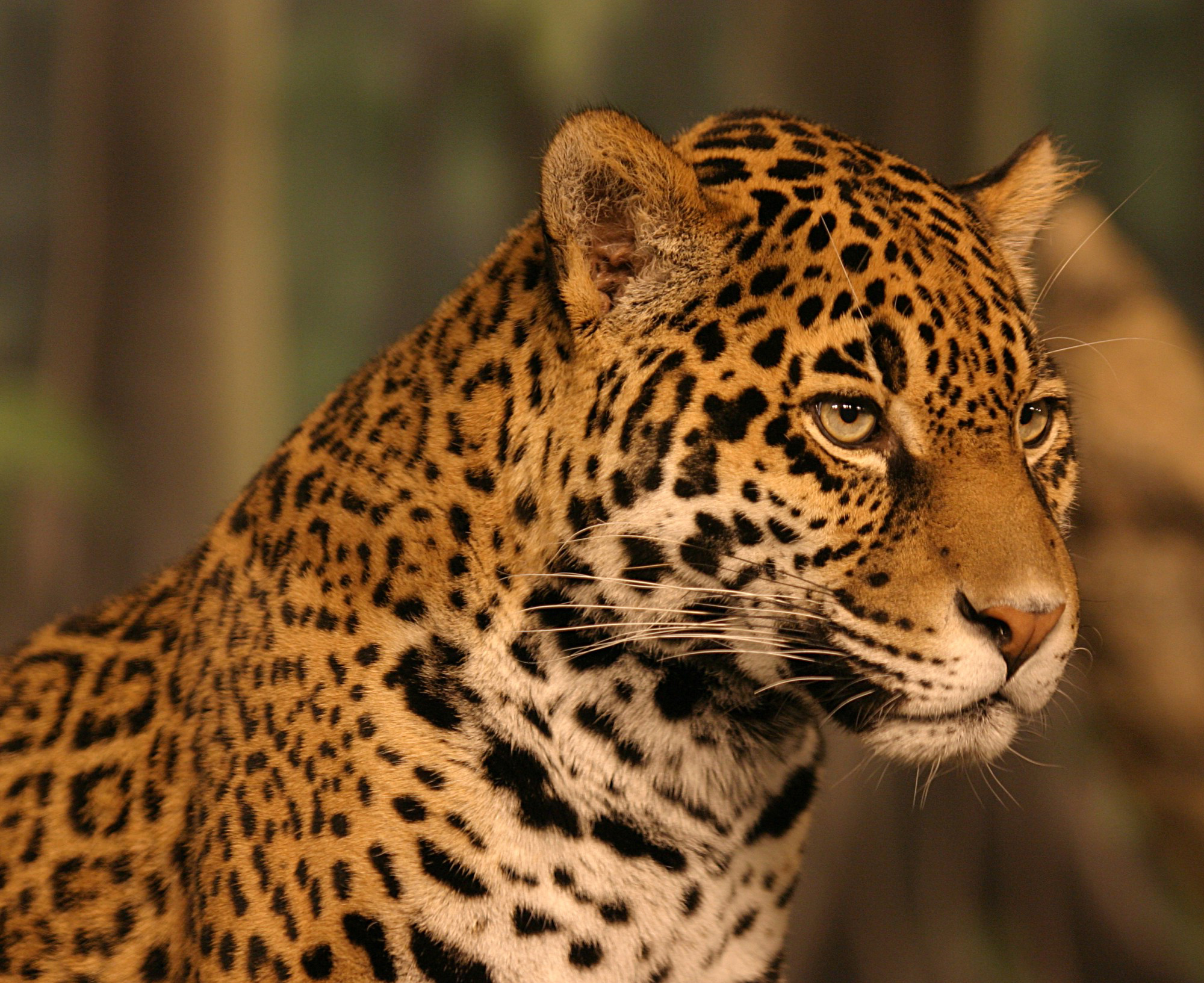 Animals Jaguars Wallpapers Hd Desktop And Mobile: Jaguar Wallpapers HD