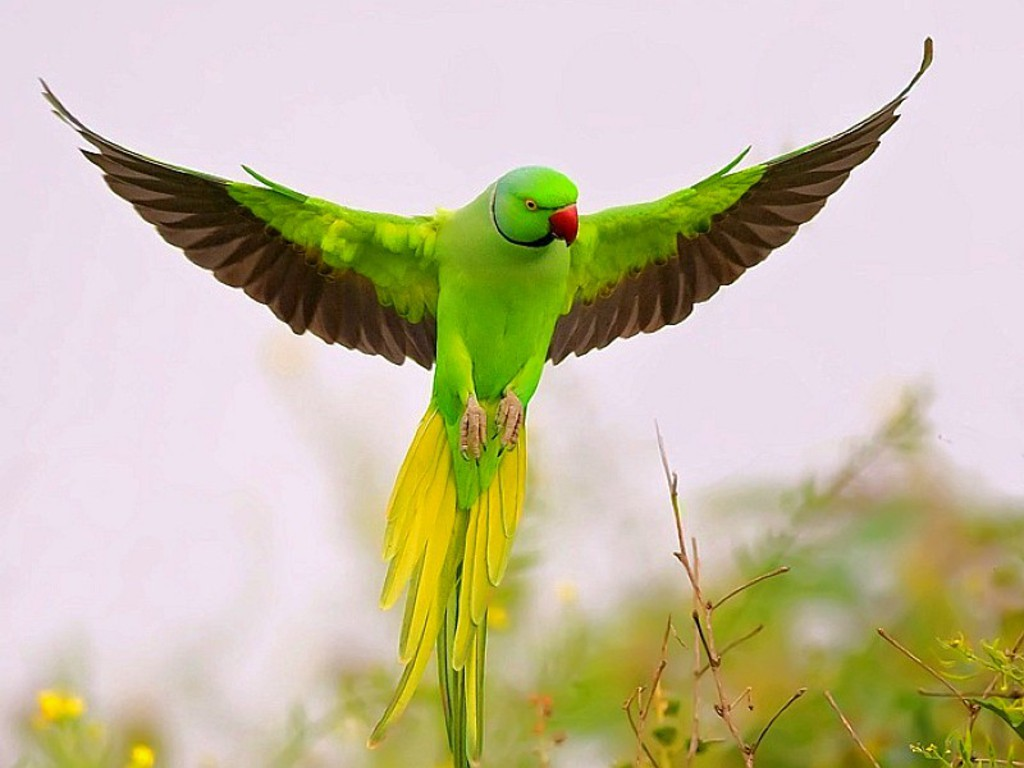 the parrot is a medium sized group of birds with the parrot being best 1024x768