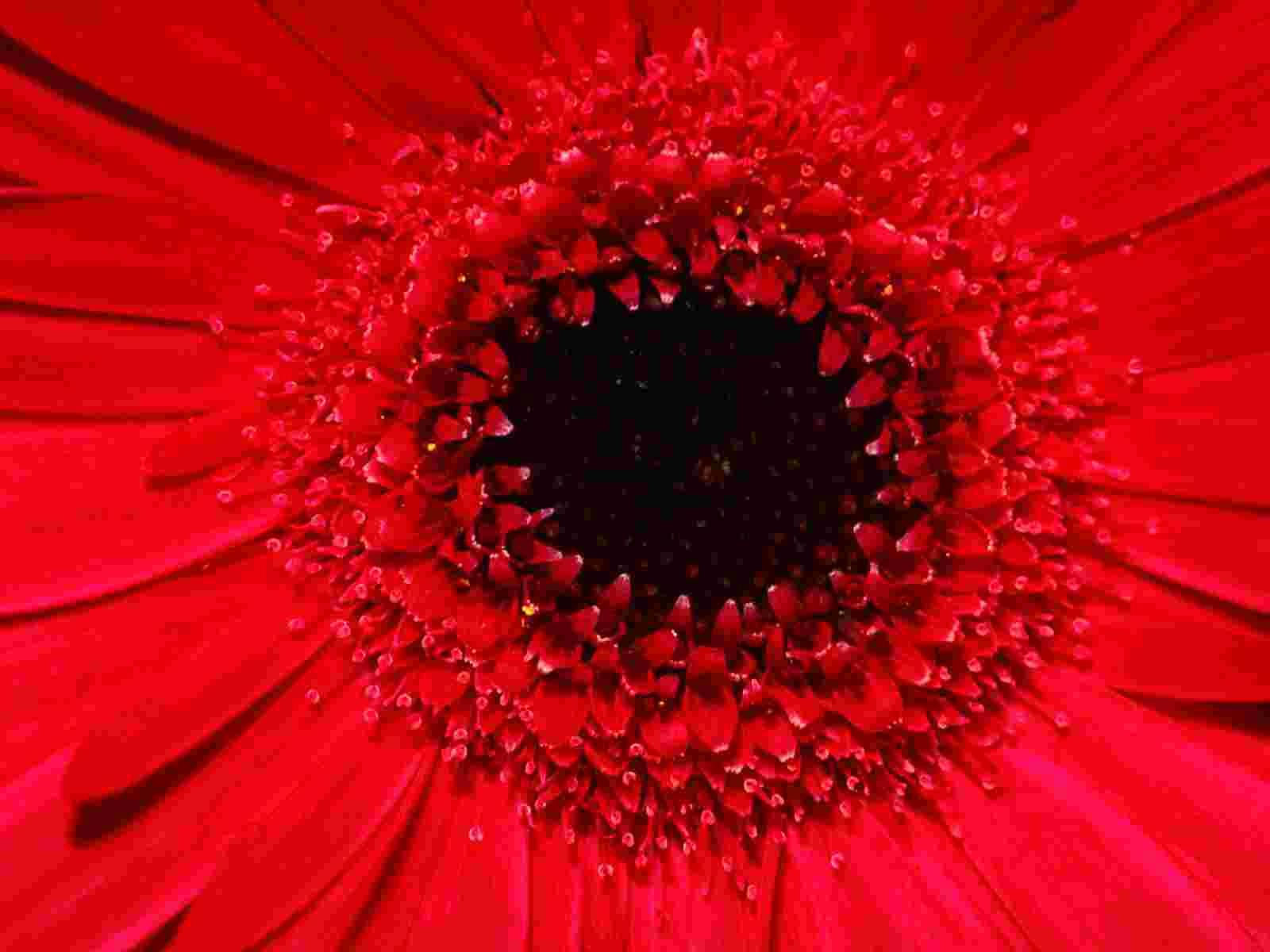 Gerbera Daisy wallpaper   Flowers   Nature   Wallpaper 1600x1200
