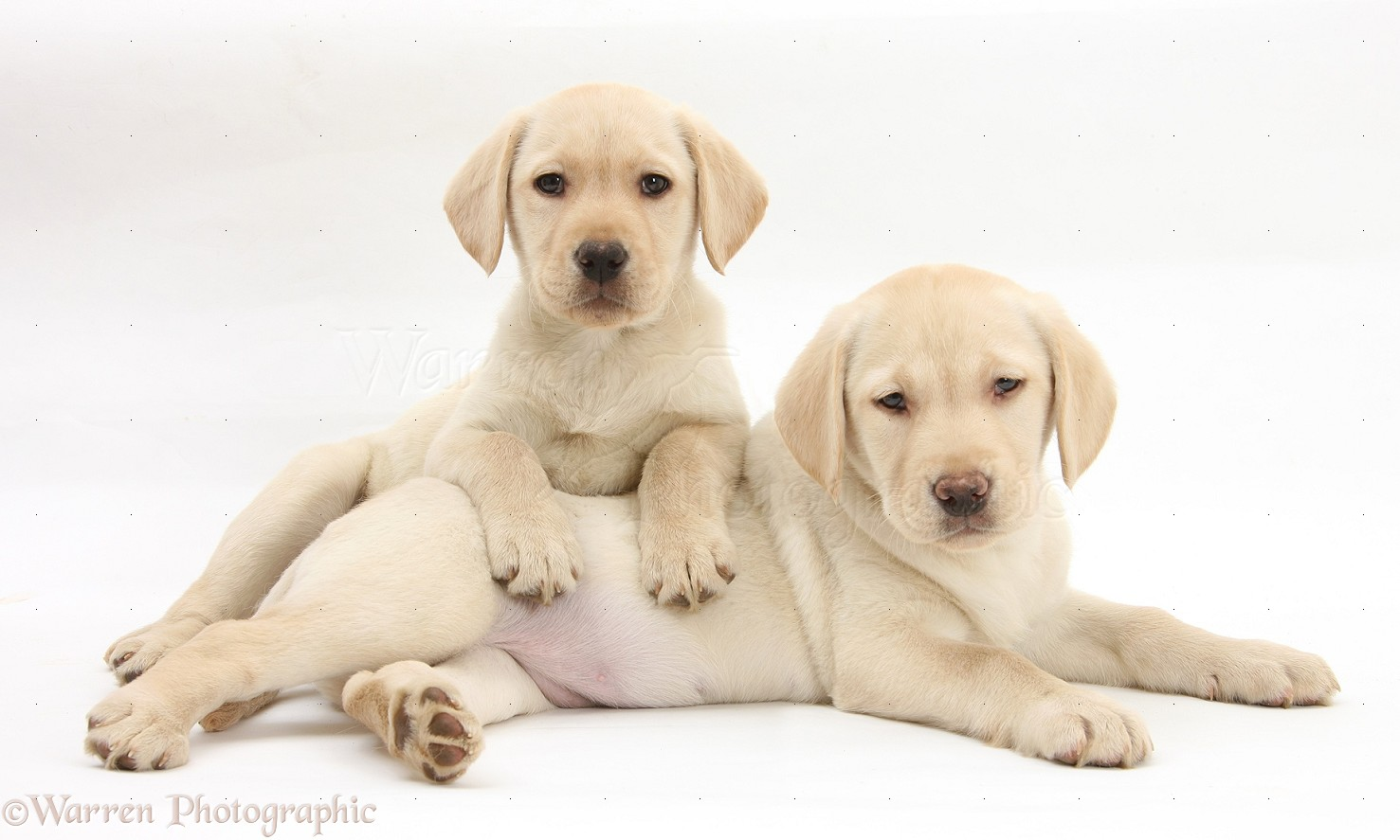 yellow lab puppy wallpaper - photo #8