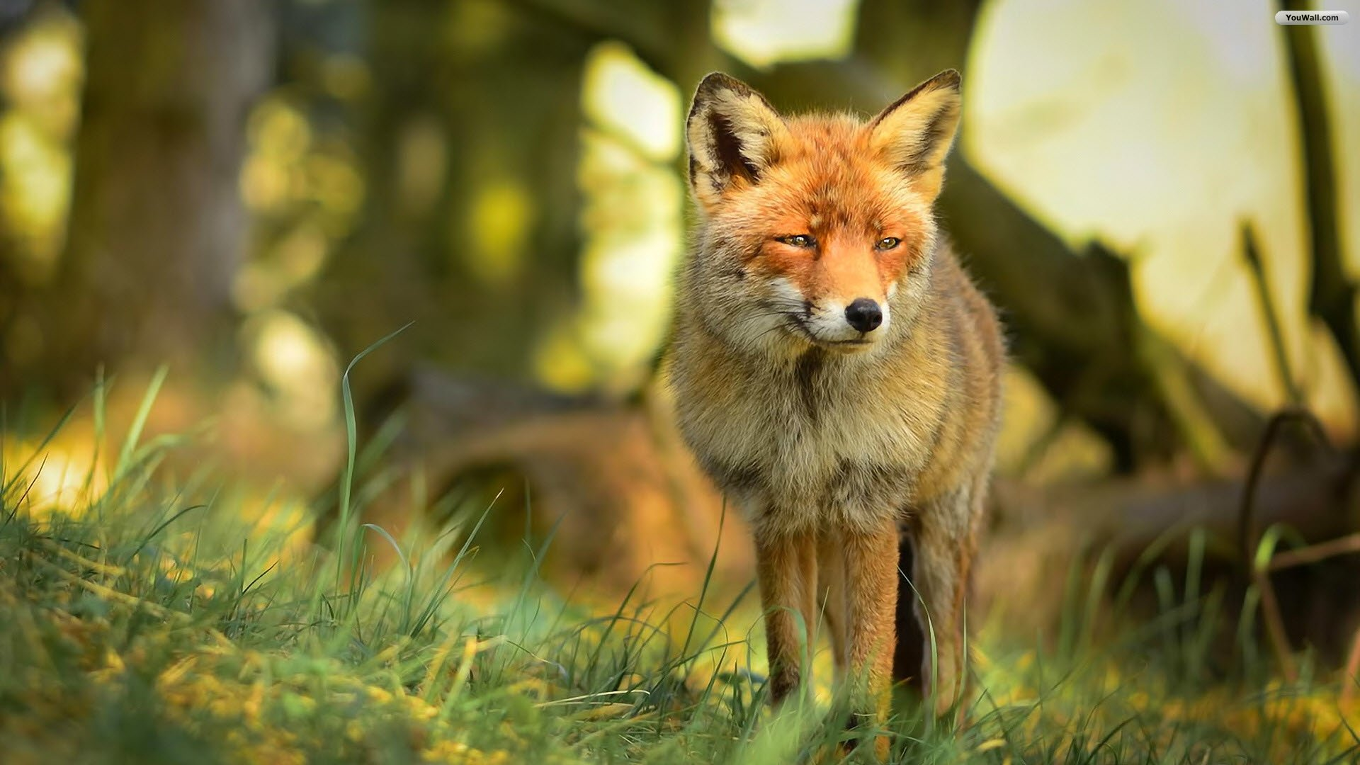 Free Download Red Fox Wallpaper Wallpaperwallpapersfree