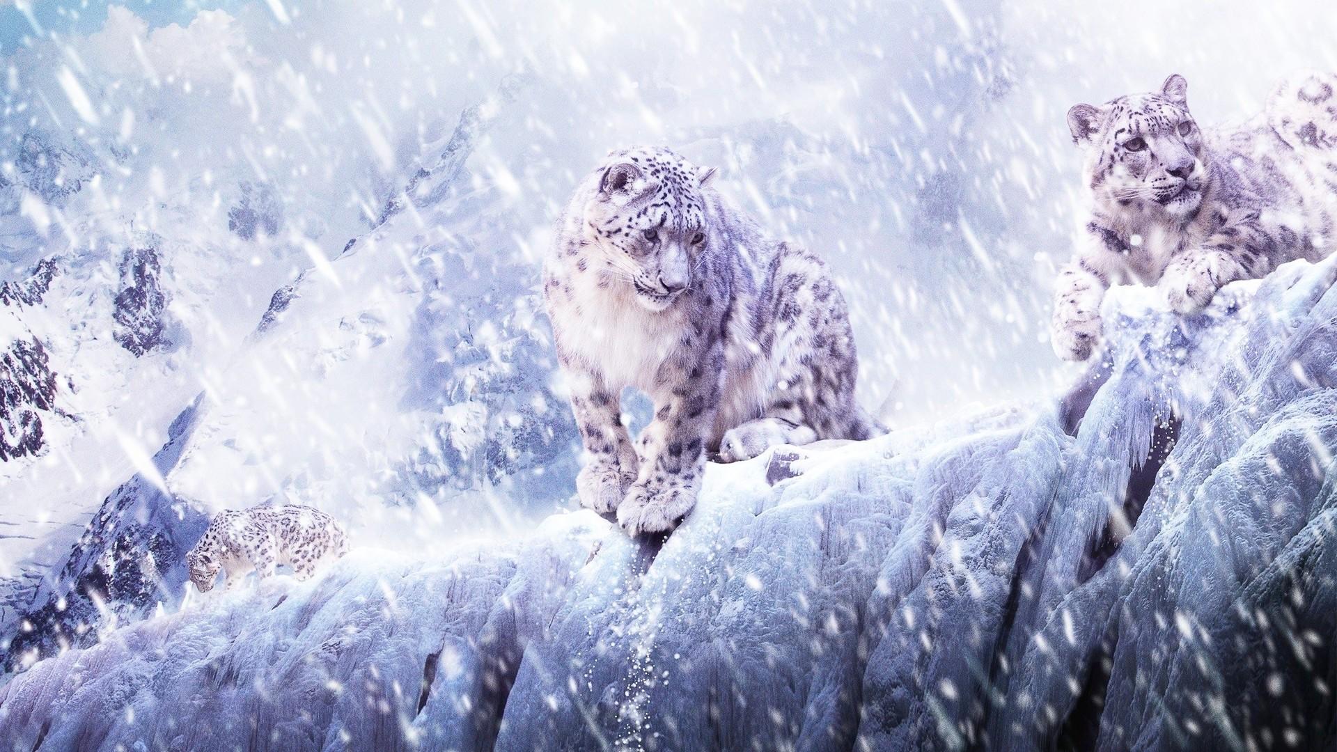 1920x1080px Snow Leopard Wallpaper Hd Wallpapersafari