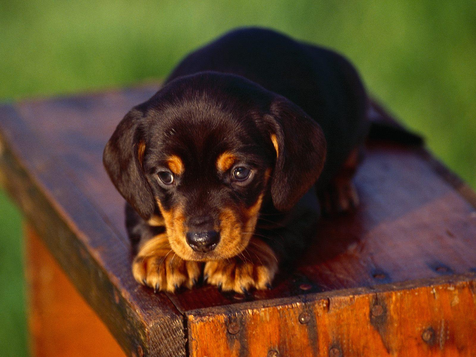 Black and Tan Coonhound puppy photo and wallpaper Beautiful Black and 1600x1200
