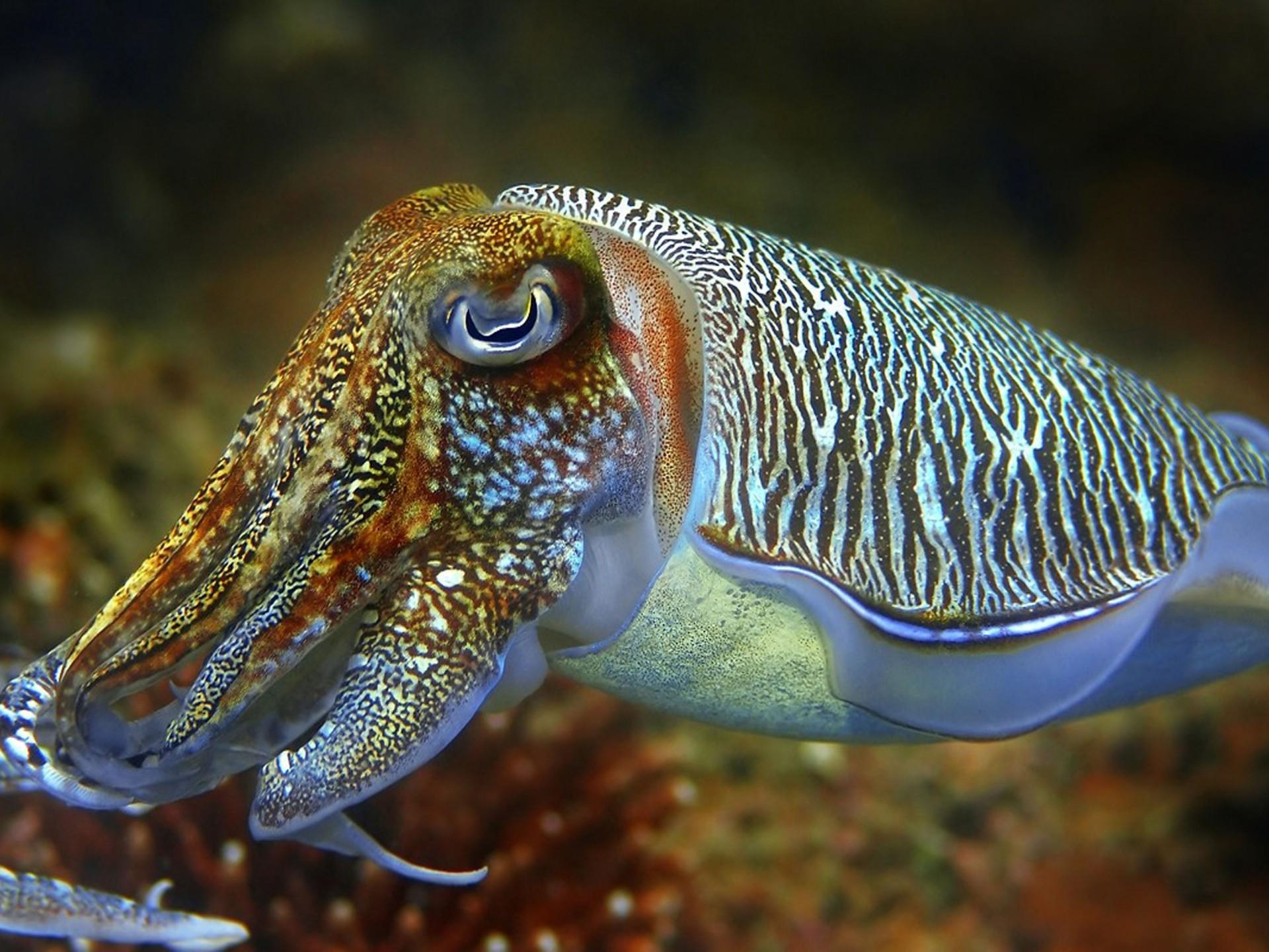 cute cuttle fish - 1280×720