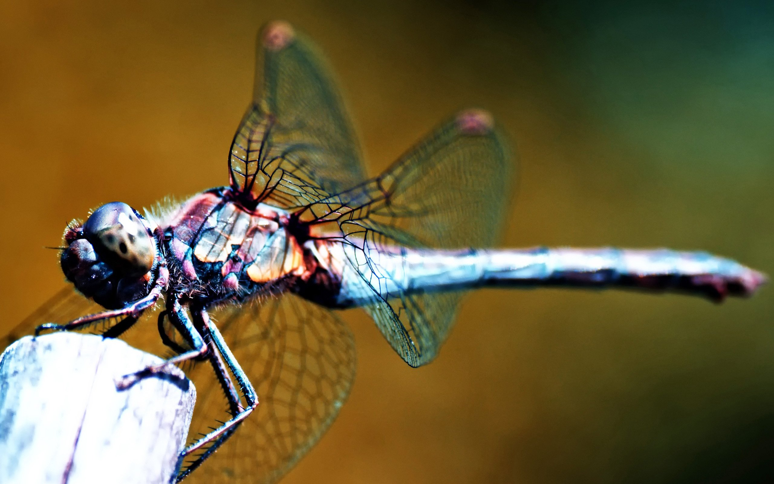 791688 dragonfly wallpaperjpg 2560x1600