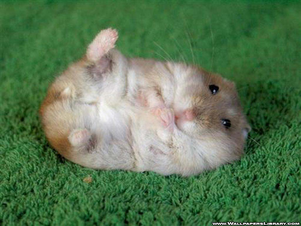 Hamster Background Images HD Wallpapers 1024x768