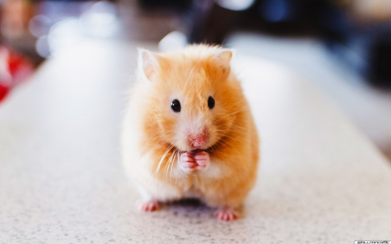 Hamster Wallpaper 772x483