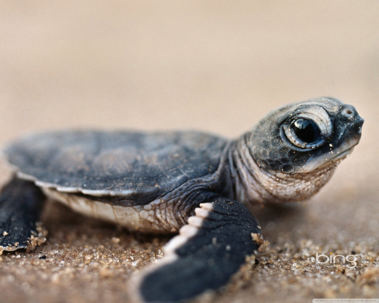 Nature Animals Baby Turtle Desktop Wallpaper Scroll Wallpapers 1280x1024