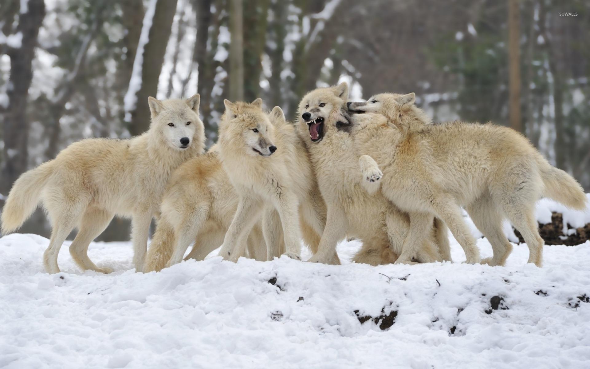 [66+] Wolf Pack Wallpaper on WallpaperSafari - photo#20