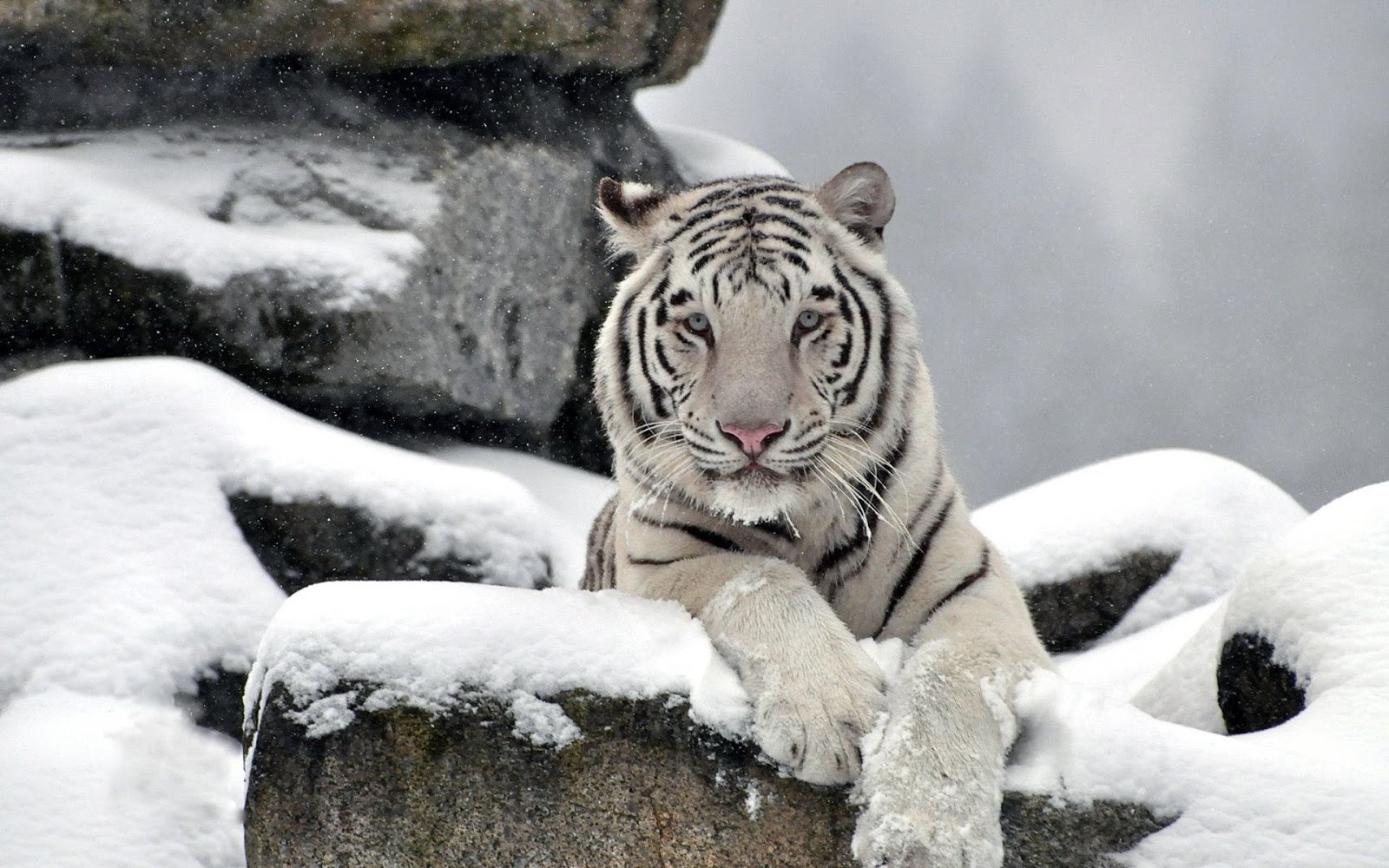 White tiger hd snow
