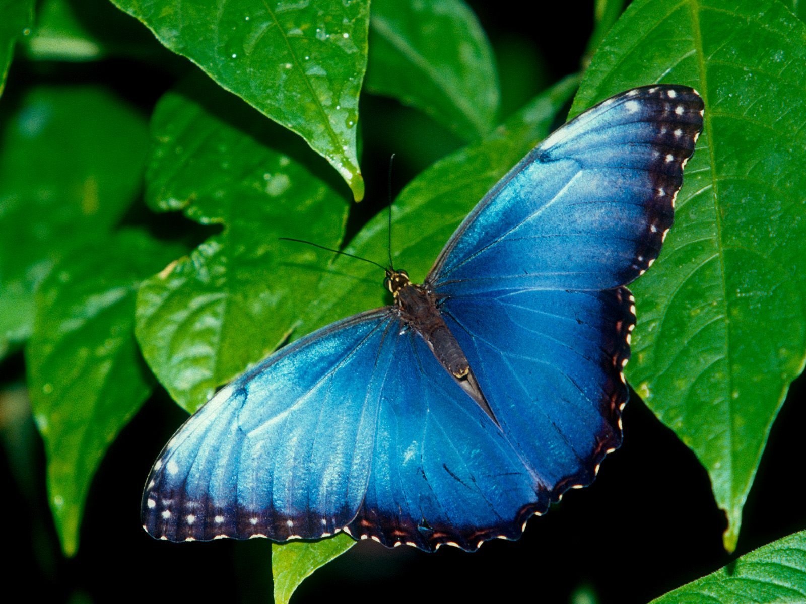 Amazing butterfly wallpapers 1600x1200