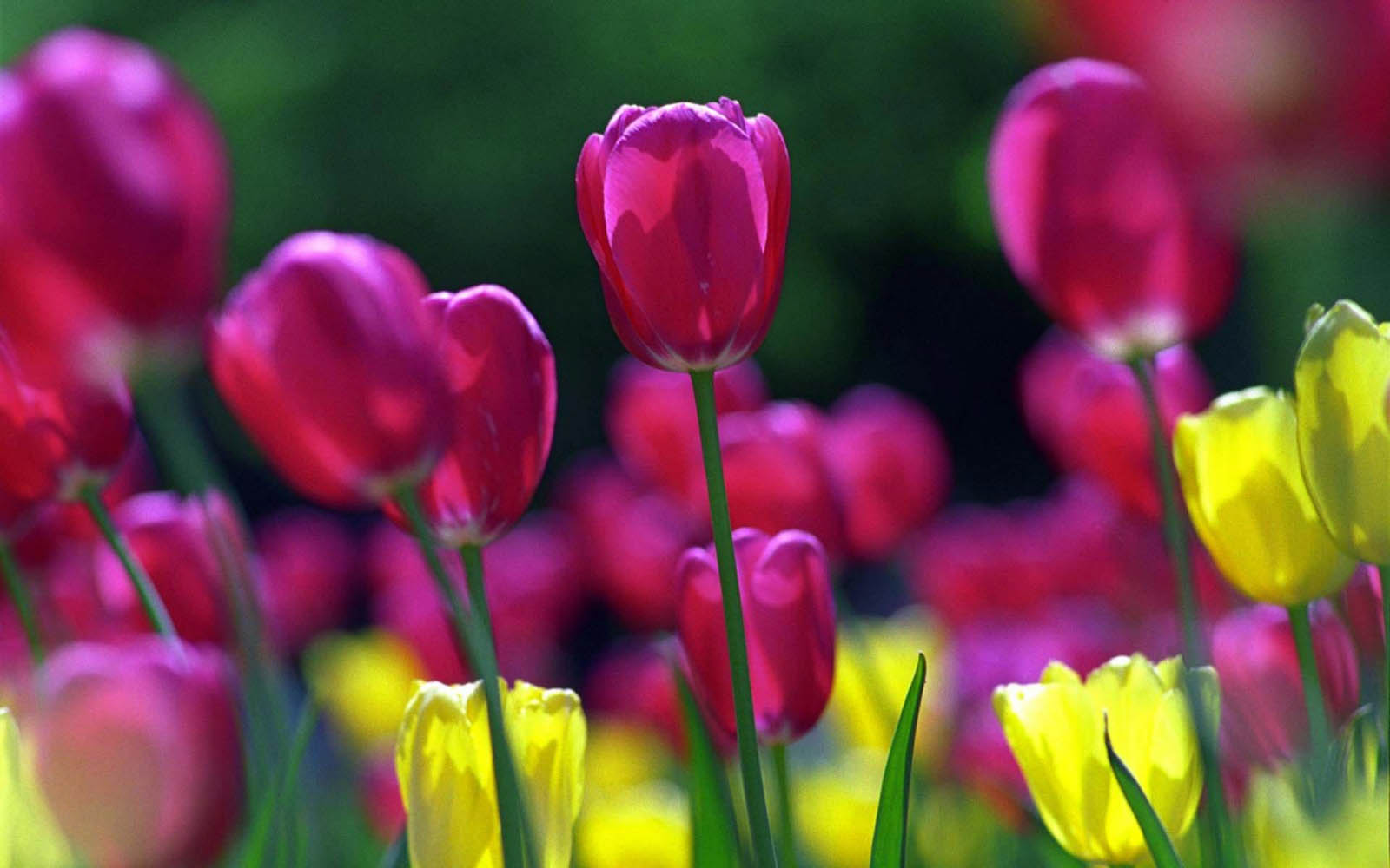 Spring Flowers Wallpapers Images Photos Pictures and Backgrounds 1600x1000