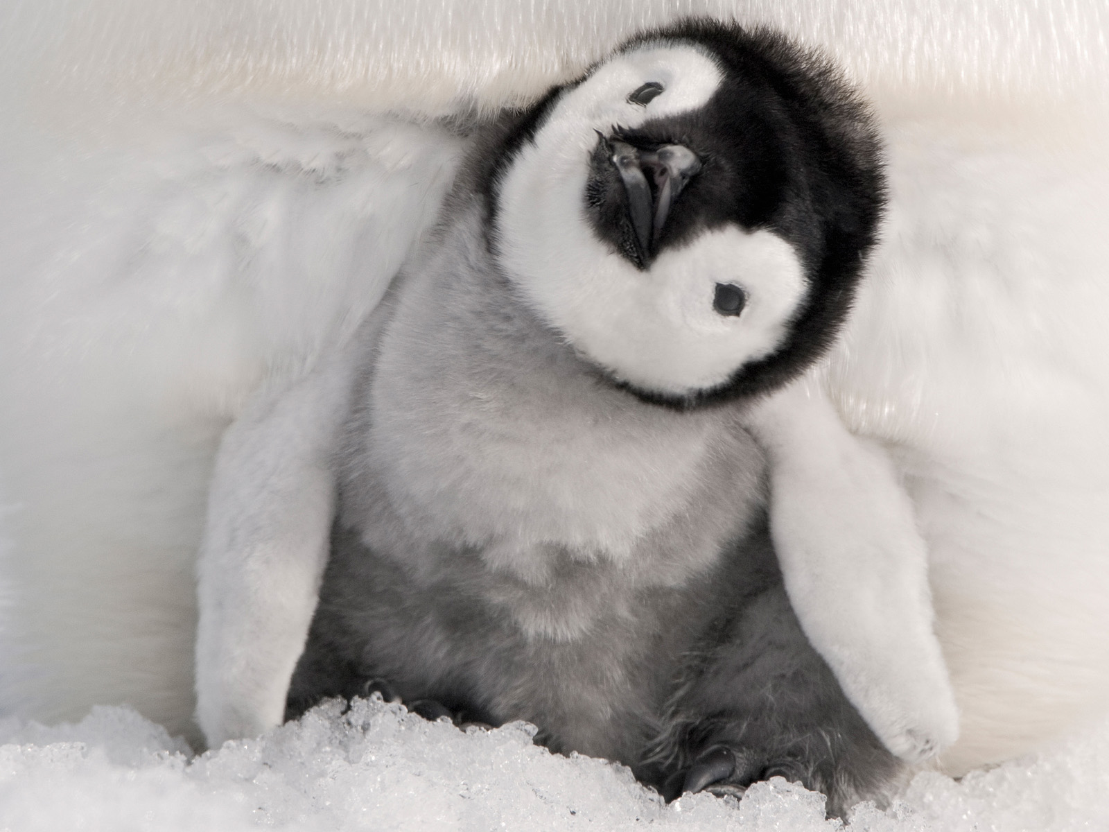 Cute Baby Pics Wallpapers 64 Images: Baby Penguin Wallpaper