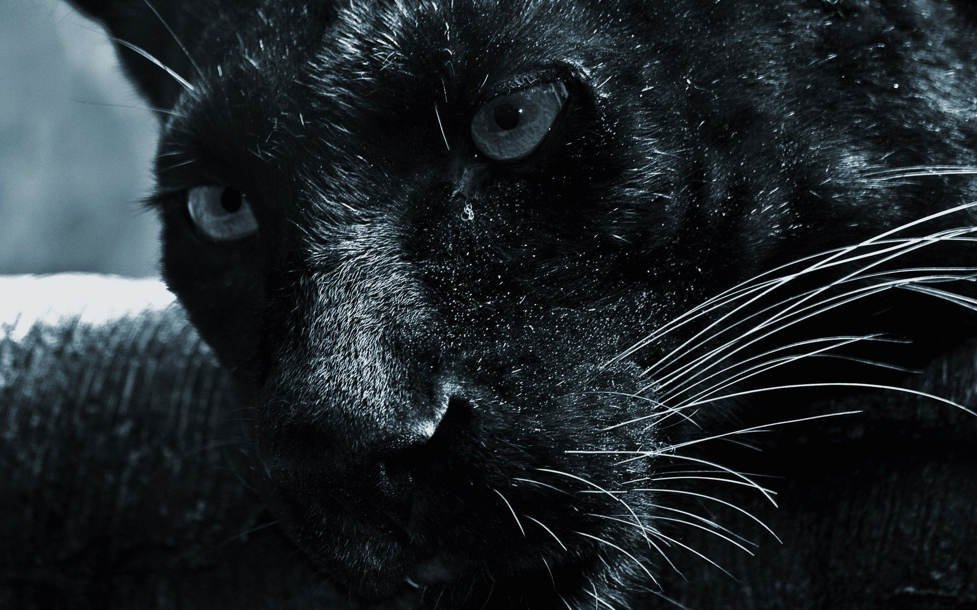 Black Jaguar Wallpaper